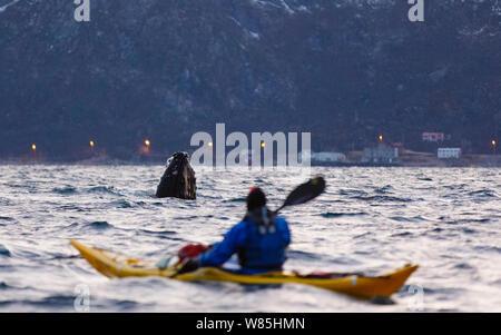 Spyhopping Humpback whale (Megaptera novaeangliae) watched my man in kayak. Kvaloya, Troms, Northern Norway. November. - Stock Photo