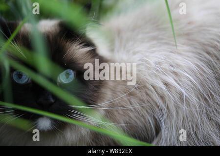 Ragdoll Katze - Stock Photo