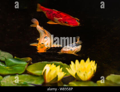 Three koi carp fish and two water lilies and pads in a tranquil pond. The fish are orange, gold and silver colours. - Stock Photo