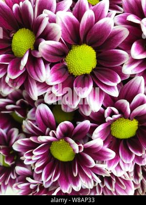 Purple Dahlias with yellow center. Photo image - Stock Photo