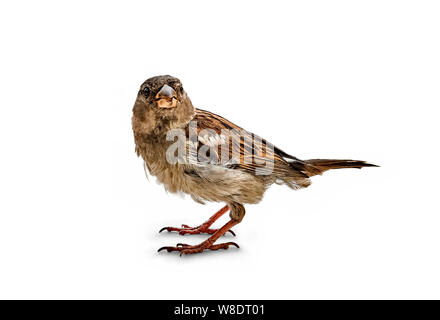 Little bird the Sparrow (Passer italiae) isolated on white - Stock Photo