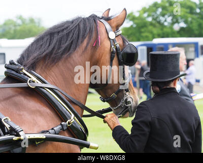 A bay welsh cob in full driving harness being held by a groom. - Stock Photo