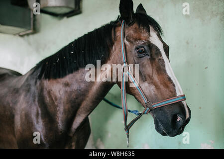 Muzzle horse closeup with bridle, equestrian base - Stock Photo