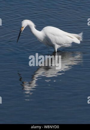 Snowy Egret at the Edwin B. Forsythe National Wildlife Refuge in New Jersey - Stock Photo