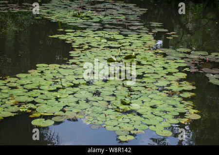 Water lilies floating on the pond forming a pathway - Stock Photo