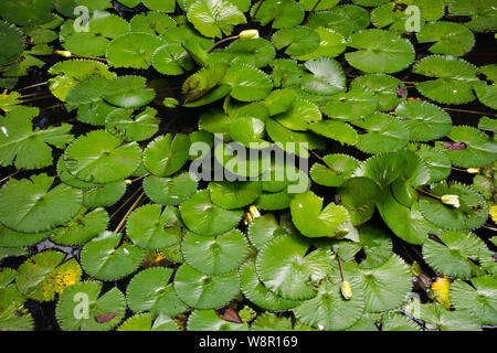 Green vibrant water lilies floating on the pond, group of water lilies - Stock Photo