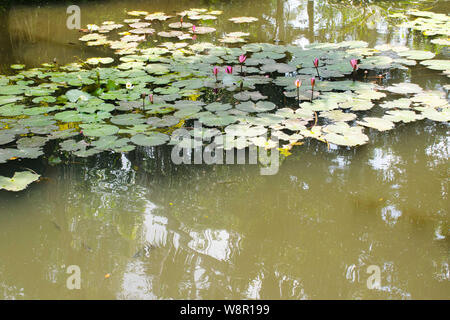 Pink water lilies spread on the pond. - Stock Photo
