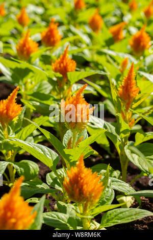 Urban flowerbed group Celosia orange yellow, decorative garden plants, landscaping cities. Flower broom amaranth fluffy hairs, vertical photo - Stock Photo