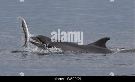 Bottlenose dolphin at Chanonry Point in the Scottish Highlands - Stock Photo