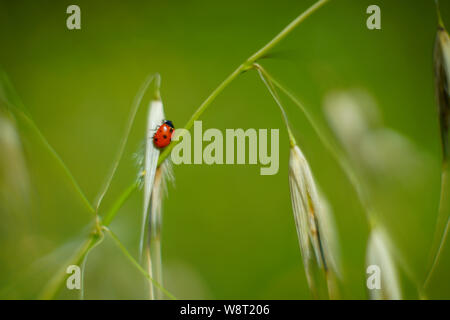 Coccinella septempunctata, the seven-spot ladybird on wild oats (Avena) Photographed in Israel in Spring - Stock Photo