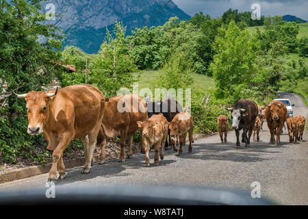 Herd of cows walking on road near village of Viego, near San Juan de Beleño, in foothills of Picos de Europa, Ponga Natural Park, Asturias, Spain - Stock Photo