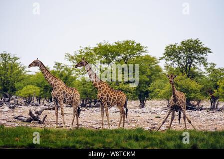 Giraffes drink water from a waterhole in Etosha National Park - Stock Photo