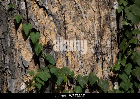 Close up of Acacia bark, suitable for background image, Elsamere, Kenya - Stock Photo
