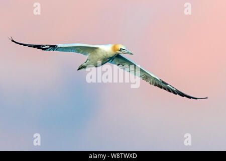 Adult Northern Gannet (Sula bassana) flying against an evening sky, off St Mary's, Isles of Scilly, England - Stock Photo