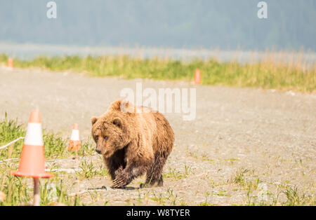 Costal Brown Bear Walks Across the Runway on a Sunny Day at Bear Mountain Lodge, Chinitna Bay, Nikiski, Alaska, USA - Stock Photo