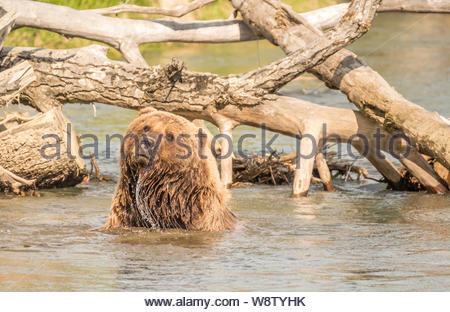 Costal Brown Bear Bathes on a Sunny Day in a Creek near the Runway at Bear Mountain Lodge, Chinitna Bay, Nikiski, Alaska, USA - Stock Photo