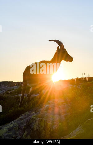 backlit silhouette of an Alpine ibex in the swiss alps - Stock Photo