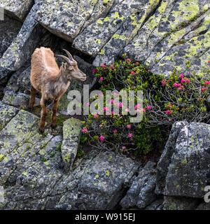 junger Steinbock auf Felsenvorsprung in den Berner Alpen - Stock Photo
