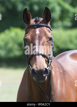 A head shot of a pretty bay horse in a snaffle bridle. - Stock Photo