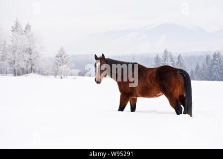 Dark brown horse walks on snow covered field in winter, blurred trees in background, view from side - Stock Photo