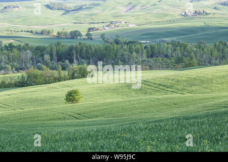 A lone tree in the Val d'Orcia, Tuscany, Italy. - Stock Photo