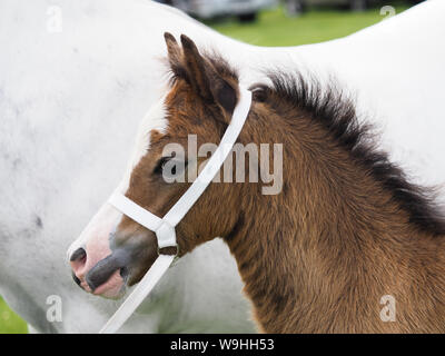 A bay welsh section A foal in a traditional white showing halter. - Stock Photo
