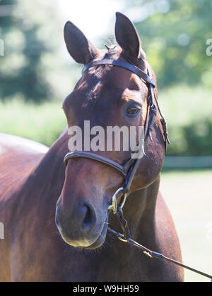 A head shot of a plaited bay hunter in a snaffle bridle. - Stock Photo