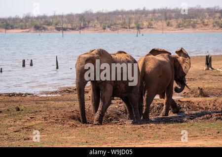 A herd of African Bush Elephants (Loxodonta africana) Photographed at Lake Kariba National Park, Zimbabwe - Stock Photo