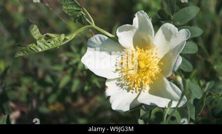 Dog rose blossoms. Rosa canina. White rose. Rose background. Nature style. - Stock Photo