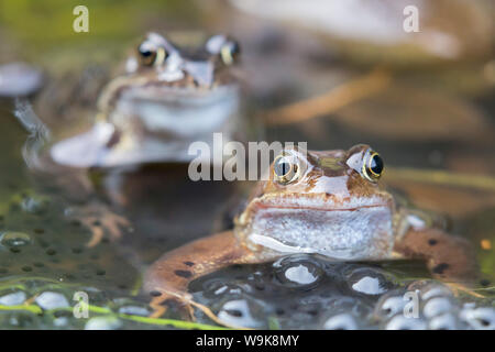Common frogs (Rana temporaria) in spawning pond, Northumberland, England, United Kingdom, Europe - Stock Photo