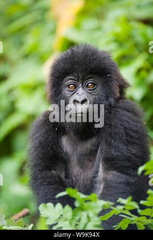 Infant mountain gorilla (Gorilla gorilla beringei), Amahoro A group, Volcanoes National Park (Parc National des Volcans), Rwanda, Africa - Stock Photo