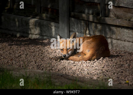 Detailed close up of wild, urban, female red fox (Vulpes vulpes UK) isolated outdoors in a UK garden, in summer, lying down & sleeping in the sun. - Stock Photo