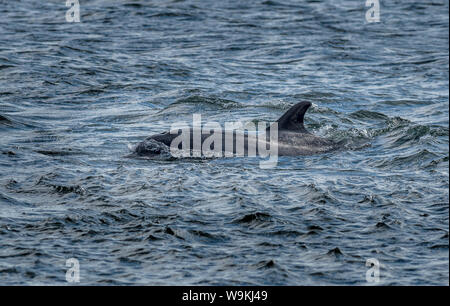 Bottlenose Dolphin In The Moray Firth At Chanonry Point Near Inverness In Scotland - Stock Photo