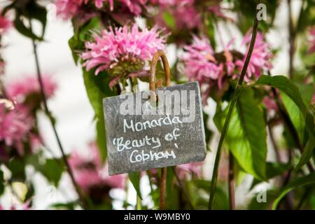 a monarda beauty of cobham garden gardening plant plants gardens - Stock Photo