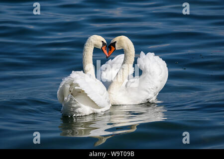 Swan couple on Lake Como (Italy) - Stock Photo