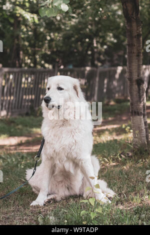 Close-up portrait of a white Maremma Shepherd dog sitting on the grass with a leash. White thick coat. Selective focus on the dog. The background is b - Stock Photo