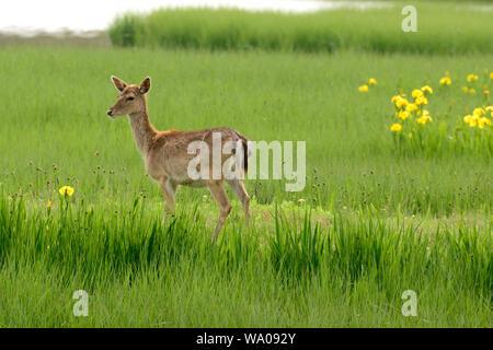 Fallow Deer, Dama dama, Cervidae, deer, female, browsing, mammal, animal, Aiguamolls de l'Emporda, Nature Reserve, Castello d'Empuries, Costa Brava, P - Stock Photo