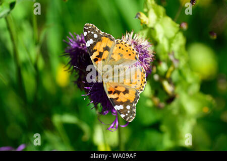 Painted Lady Butterfly, Cynthia cardui, Nymphalidae, butterfly, insect, animal, Coulm da Tscheps. Rabius. Surselva, Canton of Graubünden, Switzerland, - Stock Photo