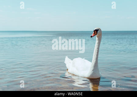 white swan swimming on river at sunny day - Stock Photo