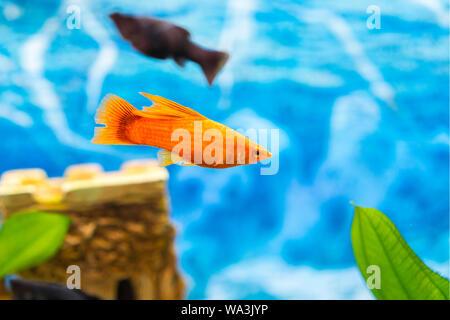 Tropical colorful fishes swimming in aquarium with plants. Goldfish, Carassius auratus, captive. Fish in the aquarium. - Stock Photo