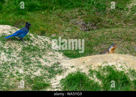 Steller's jay (Cyanocitta stelleri) and a columbian ground squirrel (Urocitellus columbianus) together on the ground in Glacier National Park, Rogers - Stock Photo
