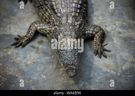 Young Crocodile starring camera in Crocodile Park, Uganda - Stock Photo