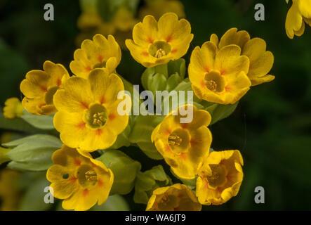 Cowslip, Primula veris, flowers in spring grassland. - Stock Photo