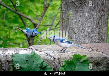 A blue jay flies in to meet his mate, who is standing on a stone wall in the garden. Both female and male look the same, however the male is smaller - Stock Photo