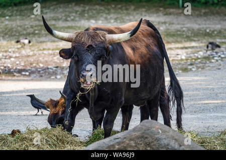 Heck cattle, Bos primigenius taurus or aurochs in the zoo - Stock Photo
