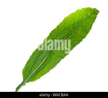 fresh green leaf of horseradish cutout on white background - Stock Photo
