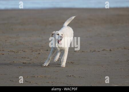 A young yellow labrador retriever puppy playing on the beach in summer - Stock Photo