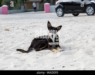 Curious stray dog on beach, in the Blue Hills recognition Provenciales of the Turks and Caicos. - Stock Photo