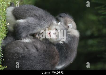 --FILE--The black-and-white snub-nosed monkeys or Yunnan golden hair monkeys are seen at the Yunnan snub-nosed monkey national park of Baima Snow Moun - Stock Photo