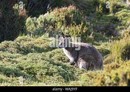 Australia, Tasmania, Cradle Mountain-Lake St Clair National Park. Bennetts Wallaby in heath near trail to Barn Bluff - Stock Photo